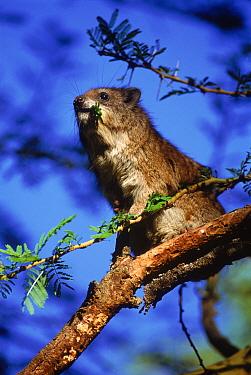 Tree hyrax (Dendrohyrax arboreus) eating acacia leaves Kenya, Masai Mara  -  Peter Blackwell/ npl