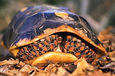 Red footed tortoise withdrawn inside its shell (Geochelone carbonaria), Iwokrama Reserve, Guyana  -  Pete Oxford/ npl