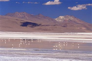 James (Phoenicoparrus jamesi) and Andean flamingoes (Phoenicoparrus andinus) feeding at Lago Colorado 4200m altitude, Bolivian Andes, Bolivia  -  Doug Allan/ npl