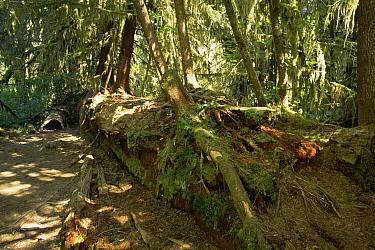 Young trees growing from nurse log Olympic NP, Washington State, USA  -  Tim Edwards/ npl