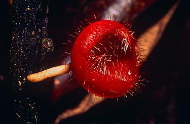 Cup fungus (Leotiales) Amazon rainforest, Ecuador, South America  -  Pete Oxford/ npl