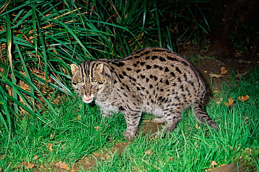 Fishing cat (Prionailurus, Felis viverrinus) male, captive  -  Rod Williams/ npl