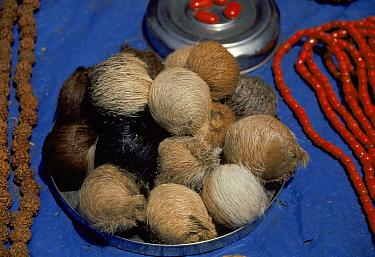 Musk pods from musk deer for sale at roadside market in Delhi Probably Moschus chrysogaster  -  Ashok Jain/ npl