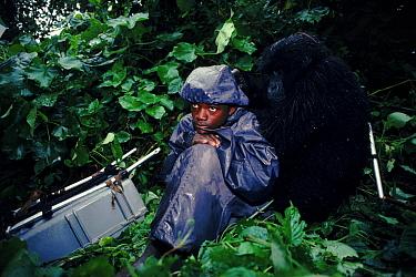 Mountain gorilla (Gorilla gorilla beringei) resting next to porter Virunga NP, Dem Rep Congo (formerly Zaire), Central Africa  -  Jabruson/ npl