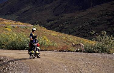 Cyclist watching Grey wolf on road (Canis lupus) Denali NP, Alaska, USA  -  John & Mary-lou Aitchison/ npl