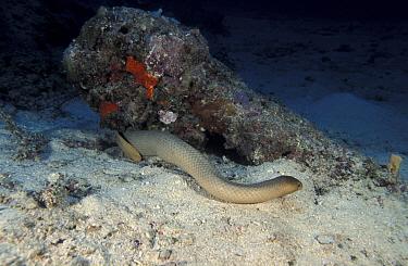 Olive brown seasnake (Aipysurus laevis) Great Barrier Reef, Australia  -  Jurgen Freund/ npl