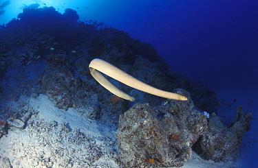Olive brown seasnake swimming (Aipysurus laevis) Great Barrier Reef, Australia  -  Jurgen Freund/ npl