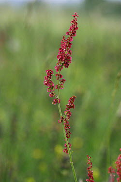 Sheep's Sorrel (Rumex acetosella) Sussex Downs AONB, Sussex UK  -  Simon Colmer/ npl