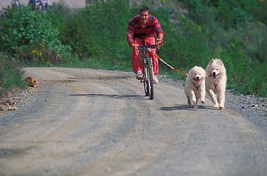 Man cycling alongside two domestic dogs, Samoyeds  -  Adriano Bacchella/ npl