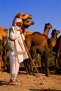 Camel herder with camels (Camelus dromedarius) Rajasthan, India  -  Pete Oxford/ npl