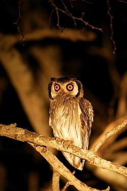 Southern white faced scops owl (Ptilopsus granti), Okavango Delta, Botswana  -  Christophe Courteau/ npl