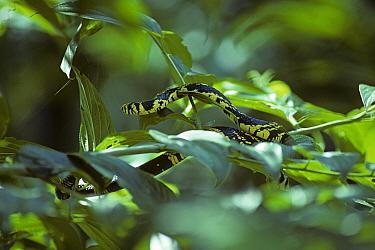 Black and yellow snake, Tiger rat snake (Spilotes pullatus pullatus) in bush, Amazonia, Ecuador  -  Pete Oxford/ npl