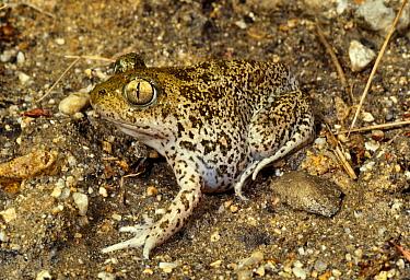 Syrian spadefoot toad (Pelobates syriacus balcanicus) Rupite, Bulgaria  -  Georgi Tzonev/ npl