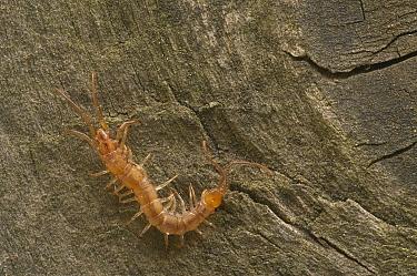Common centipede (Lithobius forficatus) Belgium  -  Philippe Clement/ npl