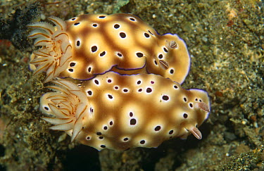 Nudibranchs (Risbecia tryoni) mating, Sulawesi, Indonesia  -  Constantinos Petrinos/ npl
