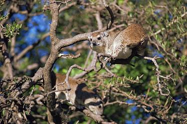 Two Tree hyrax (Dendrohyrax arboreus) in tree, Serengeti NP, Tanzania  -  Jabruson/ npl