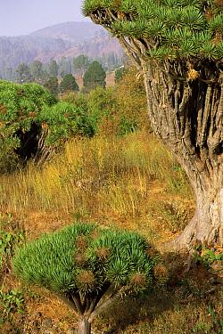 Two Dragon trees of different maturity (Dracaena draco) La Palma, Canary Islands  -  Martin Gabriel/ npl