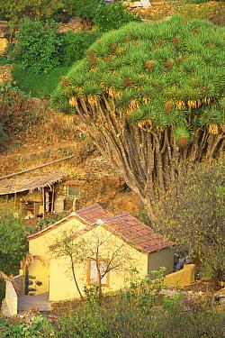 Village landscape with Dragon tree (Dracaena draco) La Palma, Canary Islands  -  Martin Gabriel/ npl