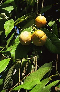 Wild Nutmeg fruit (Myristica fragrans) Ambon, Indonesia  -  Willem Kolvoort/ npl