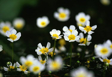 Chalk-stream water crowfoot (Ranunculus penicillatus), Mill Lawn Brook, New Forest, Hampshire, UK  -  Simon Colmer/ npl