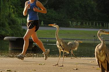 Group of Grey Herons (Ardea cincerea) being passed by jogger, Regents Park, London, England  -  Laurent Geslin/ npl