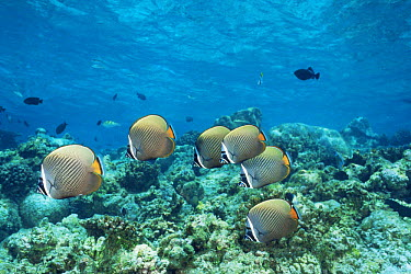 Collared, redtail butterflyfish (Chaetodon collare) Helengeli, Maldives  -  Doug Perrine/ npl