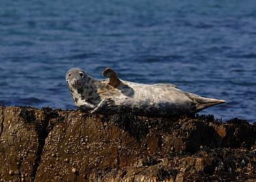 Grey Seal (Halichoerus grypus) basking on a rock in Cardigan Bay, Wales, UK, 2007  -  Graham Eaton/ npl