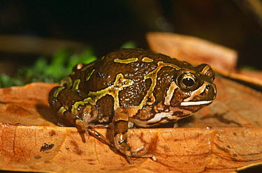 Marbled burrowing frog (Scaphiophryne pustulosa) Ankaratra mtns, Central Madagascar  -  Nick Garbutt/ npl
