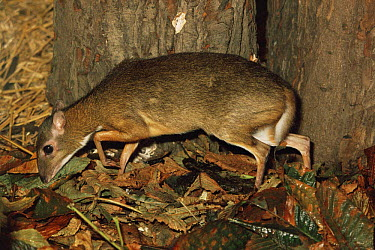 Lesser Malay mousedeer (Tragulus javanicus) female, captive, from SE Asia  -  Rod Williams/ npl