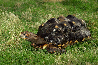 Red footed tortoise (Geochelone carbonaria) captive, from South America  -  Rod Williams/ npl