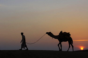 Silhouette of man leading Dromedary camel (Camelus dromedaries) at sunset, Thar desert Rajasthan, India, 2006  -  Pete Oxford/ npl