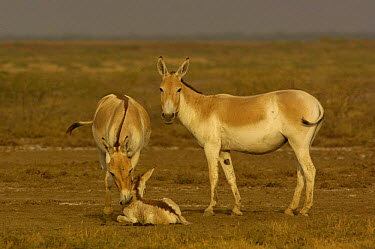 Asiatic Wild Ass, Kuhr (Equus hemionus khur) adults with foal, Rann of Kutch, Gujarat, SW India Endangered  -  Pete Oxford/ npl