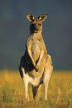 Eastern grey kangaroo (Macropus giganticus) portrait, Australia  -  Ingo Arndt/ npl