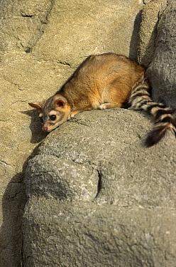 Ringtail cat (Bassariscus astutus) Captive, Montana, Canada  -  David Welling/ npl