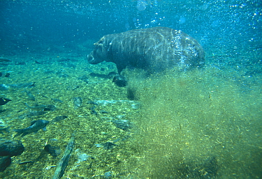 Hippopotamus (Hippopotamus amphibius) swimming underwater, Mzima springs, Kenya  -  John Downer/ npl