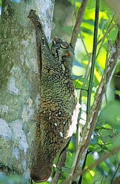 Malayan Colugo, flying lemur (Cynocephalus variegatus) resting on tree, Bako National Park, Sarawak, Malaysia  -  Matthew Maran/ npl