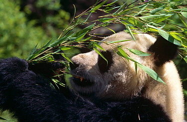 Giant panda (Ailuropoda melanoleuca) feeding on bamboo, Wolong Nature Reserve, Sichuan, China Captive  -  Lynn M. Stone/ npl