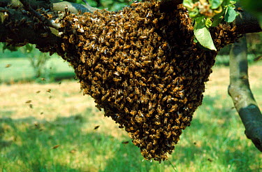 Honey Bee swarm  -  John B Free/ npl