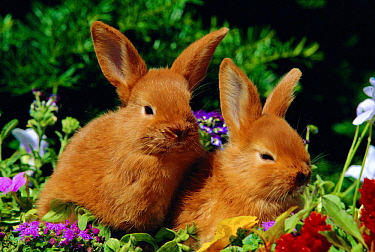 New Zealand domestic rabbits and flowers  -  Lynn M. Stone/ npl