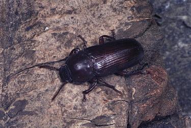 Flour, Mealworm beetle (Tenebrio molitor)  -  John B Free/ npl
