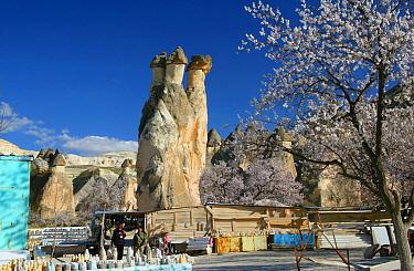 Triple headed fairy chimney with Almond trees in blossom, Kapadokia, Turkey  -  Mark Taylor/ npl