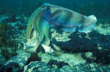 Giant cuttlefish male display with pulses of colour (Sepia apama) Whyalla, South Australia  -  Hugh Pearson/ npl