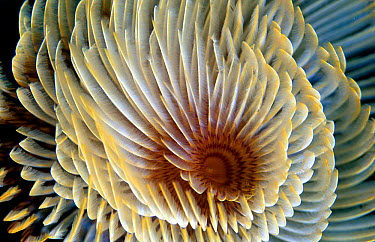 Tube worm close-up of retractable gills (Sabella spallanzanii) Mediterranean, feather duster  -  Jose B. Ruiz/ npl