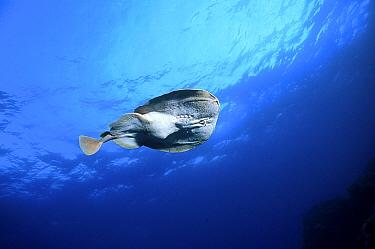 Marbled electric ray swimming (Torpedo marmorata) Mediterranean  -  Jose B. Ruiz/ npl