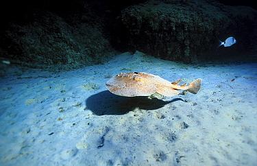 Marbled electric ray (Torpedo marmorata) Mediterranean  -  Jose B. Ruiz/ npl
