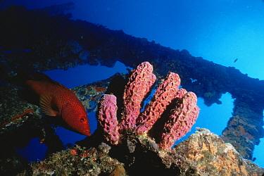 Yellow grouper (Epinephelus fulvus) and purple tube sponges on wreck of The Rhone, British Virgin Is, Caribbean  -  Doug Perrine/ npl