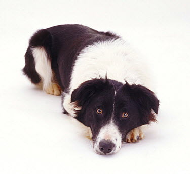Portrait of Black-and-white Border Collie bitch lying with chin on the ground  -  Jane Burton/ npl