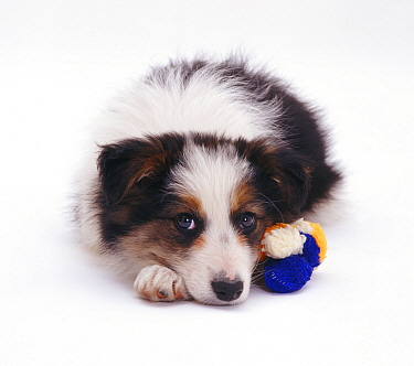 Long-coated tricolour Border Collie puppy, 8 weeks old, with toy and chin on paws  -  Jane Burton/ npl