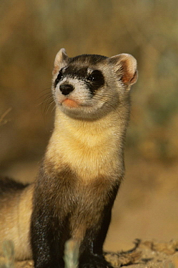 Black footed ferret (Mustela nigripes) endangered, Colorado, USA  -  Shattil & Rozinski/ npl