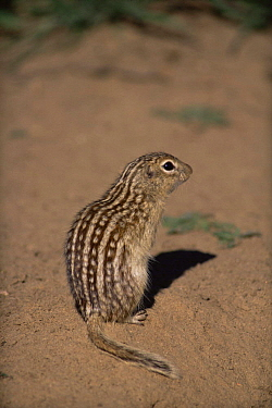 Thirteen lined ground squirrel (Spermophilus tridecemlineatus) Colorado, USA  -  Shattil & Rozinski/ npl